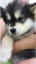 Lovely Alaskan Malamute puppies