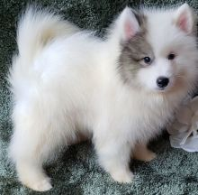 Pomsky Puppies available ✔ ✔ ✔ Email at ⇛⇛ ( marcbradly1975@gmail.com )
