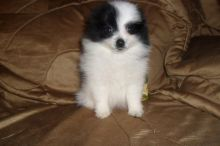 Pomeranian puppy available. Call or text us (574) 216-3805