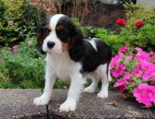 Registered Cavalier King Charles Puppie