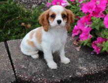 Registered Cavalier King Charles Puppie Image eClassifieds4u 2