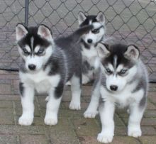 Siberian Husky Puppies for Adoption ,,.(431) 831-3049