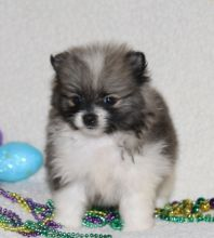 Adorable Pedigree Pomeranian Puppies