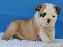 AKC quality French Bulldog Puppy for free adoption!!! Image eClassifieds4u 1