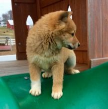 Akc Shiba Inu Puppies For Adoption Image eClassifieds4U