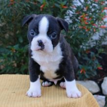 Beautiful Black brindle and white Boston Terrier Puppies Image eClassifieds4U