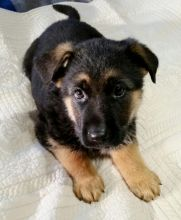 German Shepard Puppies Available for Free Adoption Image eClassifieds4U