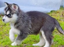 Sweet Siberian Husky Puppies Image eClassifieds4U