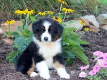 Australian Shepherd Puppies available ✔ ✔ ✔ Email at ⇛⇛ ( marcbradly1975@gmail.com )