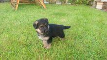 Champion Bllodline German Shepherd Puppies for Sale Text (929) 274-0226