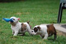 Well Trained English Bulldog Puppies Image eClassifieds4u 2