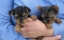 *** Teacup Yorkie Puppies For Re-Homing ***