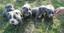 ❤️Pure Bred Red And Blue Nose American Pitbull Terrier Pups available ❤️