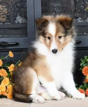 Registered Shetland Sheepdog Puppies 🏳🏳 Email at ⇛⇛ [ damarek28@gmail.com ]]