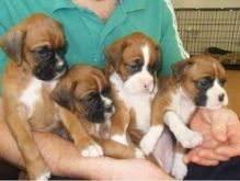 Boxer Puppies ready now for a new home .