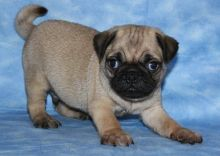 Pug Puppies available ✔ ✔ ✔ Email at ⇛⇛ ( marcbradly1975@gmail.com )