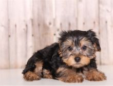 yorkie puppies for rehoming