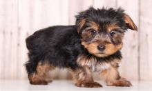 yorkie puppies for rehoming Image eClassifieds4u 2
