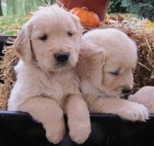 Freindly Golden Retriever puppies for adoption text me @ (782)-820-3173