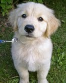 Golden Retriever puppies looking for a lovely family text me @ (782)-820-3173
