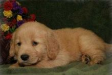 Lovely Golden Retriever Puppies for adoption text me @ (782)-820-3173