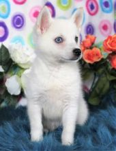 Male & Female Alaskan Klee Kai Puppies available ✔ ✔ ✔ Email at ⇛⇛ ( marcbradly1975@gmail.