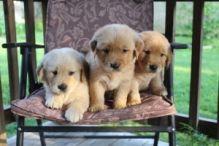 Two Gorgeous, quality AKC Golden Retriever puppies (782)-820-3173