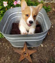 AKC quality French Bulldog Puppy for free adoption!!! text me @ (782)-820-3173
