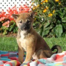 Family raised shiba inu puppies for adoption