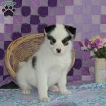 Precious Pomsky puppies available now