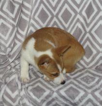 Priceless Pembroke Welsh Corgi Puppy For Adoption text me @ (782)-820-3173