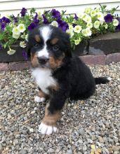 Adorable outstanding Belgian Malinois puppies