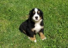 Akc registered Bernese Mountain puppies