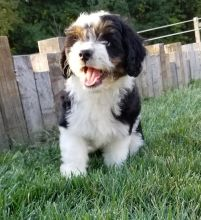 Aussiedoodle Puppies