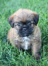 Brussels Grifon Puppies for adoption