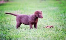 Chesapeake Bay Retriever Puppies Available