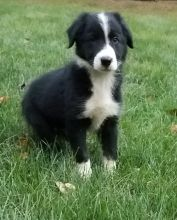 Excellent Collie Puppies Now available