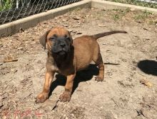 Lovely AKC Bullmastiff Puppies for free