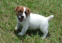 Magnificent Jack Russell