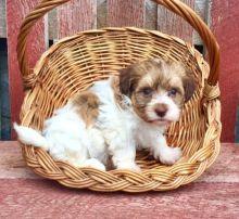 Pure Bred Full Pedigree Havanese Pups