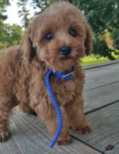 Purebred Poodle Puppies