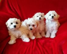 Stunning White Maltipoo Puppies