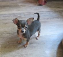Two Chihuahua Puppies For Re-homing