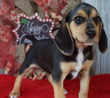 Two Top Class Beagle Puppies Available