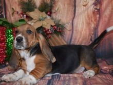 Wow!! Charming and Healthy Male and Female Basset Hound puppies for free adoption.