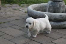 Male and Female Golden Retriever Puppies Available Image eClassifieds4U