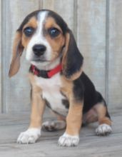 Two Top Class Beagle Puppies Available Image eClassifieds4U