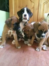 Boxer Puppies Available : Call or Text : 470-729-0284