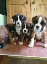 Boxer Puppies Available : Call or Text : 470-729-0284 Image eClassifieds4u 2