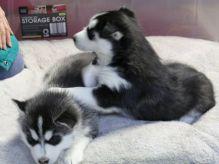 ☂️☂ Ckc ☮ Siberian Husky ☂️☂Email at us ✔ ✔ [ leopaul365@gmail.com ]